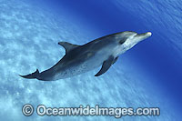 Atlantic Spotted Dolphin Stenella frontalis Photo - David Fleetham