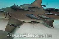 Remora attached to Lemon Shark Photo - David Fleetham