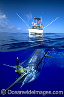 Blue Marlin Billfish on surface Photo - David Fleetham