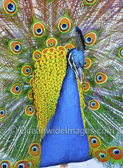 Indian Peafowl (Pavo cristatus) male during courtship display. Also known as Blue Peafowl and Peacock. Native to South Asia, but introduced and semi-feral in many regions of the world, including Australia. Photo - Gary Bell