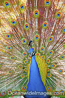 Peacock displaying feathers photo
