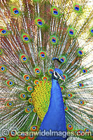 Peacock displaying feathers image