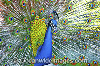 Peacock during courtship display photo