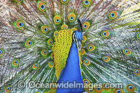 Peacock during courtship display image