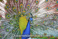 Peacock during courtship display Photo - Gary Bell