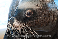 Australian Fur Seal Arctocephalus pusillus photo
