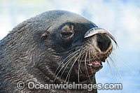Australian Fur Seal with fish on nose