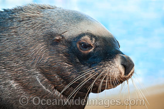 Australian Fur Seal (Arctocephalus pusillus) young male or bull. Found in southern Australia from Lady Julia Percy Island, Vic, to Seal Rocks, NSW, including Tasmania. Also southern Africa. Classified Low Risk on the IUCN Red List.