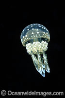 Stinging Jellyfish Mastigias papua Photo - David Fleetham