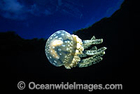 Stinging Jellyfish Mastigias papua photo