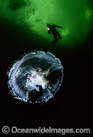 Diver and Moon Jellyfish Photo - David Fleetham