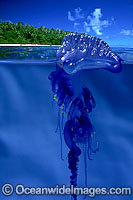 Portuguese Man-of-war Physalia physalis photo