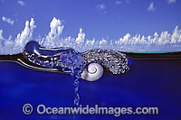 Violet Shell feeding on Portuguese Man-of-war photo