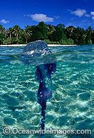 Under over picture of Portuguese Man-of-war photo