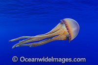 Pelagic Jellyfish Thysanostoma sp. Photo - David Fleetham
