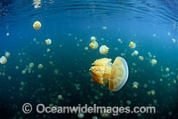 Jellyfish competing for sunlight in Jellyfish Lake Photo - David Fleetham