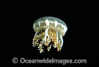 Upsidedown Jellyfish Cassiopea xamachana Photo - David Fleetham