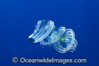 Venus Girdle Comb Jelly Cestum veneris Photo - David Fleetham