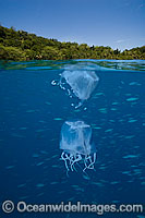 Above and below water picture of a Box Jellyfish photo