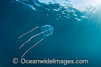 Ranston's Box Jellyfish Carybdea rastoni Photo - David Fleetham