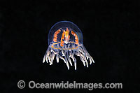 Clinging Jellyfish Gonionemus vertens Photo - David Fleetham