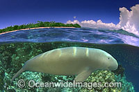 Dugong half under over Photo - David Fleetham