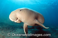 Dugong underwater Photo - David Fleetham
