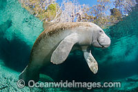 Florida Manatee Sea Cow Photo - David Fleetham