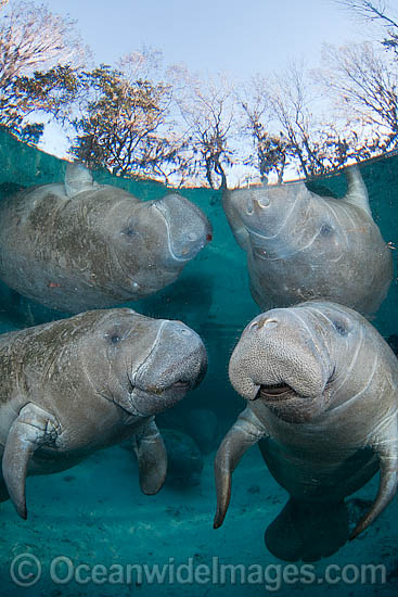 Florida Manatee (Trichechus manatus latirostris). Also known as Sea Cow. Crystal River Florida, USA. Classified Endangered Species on the IUCN Red list. The Florida Manatee is a subspecies of the West Indian Manatee. Photo - David Fleetham