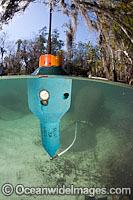 Florida Manatee transmitter Photo - David Fleetham