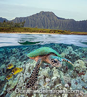 Green Sea Turtle and Butterflyfish photo