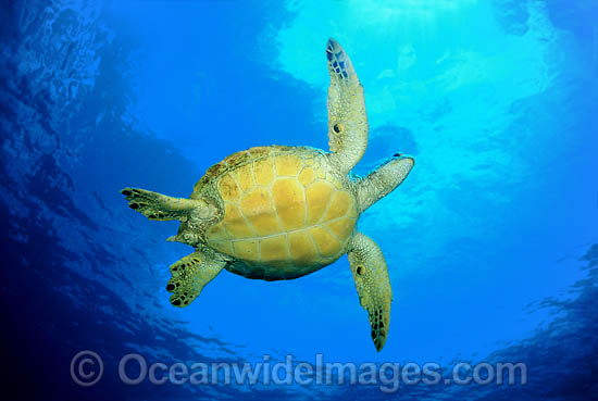 Green Sea Turtle (Chelonia mydas). Found in tropical and warm temperate seas worldwide. Listed on the IUCN Red list as Endangered species. Photo - David Fleetham