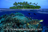 Green Sea Turtle, coral and Island photo