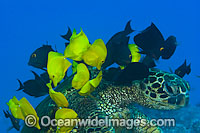 Surgeonfish cleaning Turtle photo