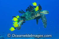 Surgeonfish cleaning Green Sea Turtle photo