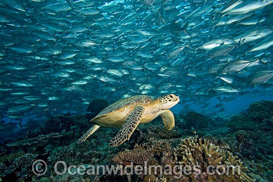 Green Sea Turtle (Chelonia mydas) and schooling Bigeye Jacks (Caranx Sexfasciatus). Found in tropical and warm temperate seas worldwide. Listed on the IUCN Red list as Endangered species. Photo - David Fleetham