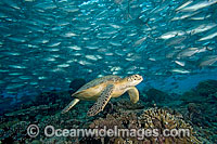 Green Sea Turtle and Trevally photo