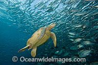 Green Sea Turtle and Trevallies photo