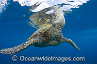 Green Sea Turtle breathing at surface Photo - David Fleetham