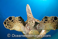 Green Sea Turtle flippers and tail Photo - David Fleetham