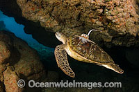 Green Sea Turtle satelite transmitter Photo - David Fleetham