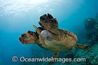 Green Sea Turtle with tumors Photo - David Fleetham