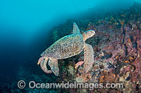 Green Sea Turtle cleaned behavior behaviour by Hogfish Photo - David Fleetham