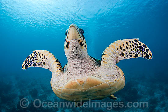 Hawksbill sea turtle pictures photos hawksbill sea turtle stock photo sciox Choice Image