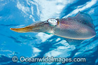 Caribbean Reef Squid Sepioteuthis sepioidea Photo - David Fleetham