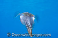 Caribbean Reef Squid Photo - David Fleetham