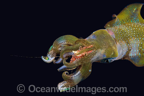 Bigfin Reef Squid (Sepioteuthis lessoniana), eating shrimp. Indonesia. This Squid is often seen on coral reefs and seagrass beds. It is found throughout the tropical Indo-Pacific, from Hawaii to the Red Sea. Photo - David Fleetham
