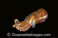 Bobtail Squid Euprymna berryi Photo - David Fleetham