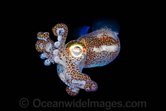 Bobtail Squid (Euprymna berryi). Also known as Dumpling Squid. Photo taken in Komodo, Indonesia. Within the Coral Triangle. Photo - David Fleetham