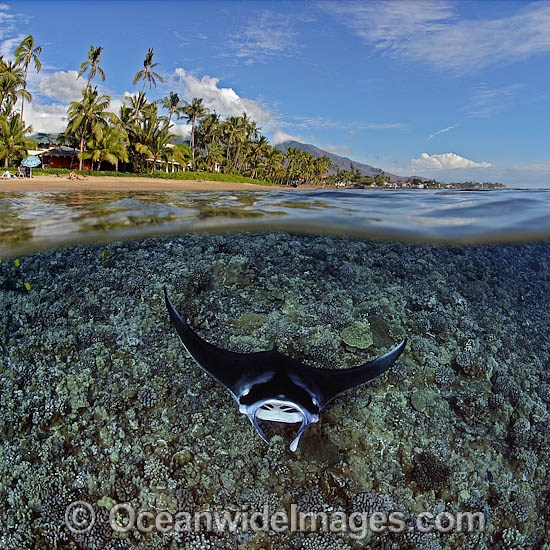 Manta Ray coral reef island photo